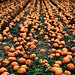 20081017-Pumpkin-field_MG_1105
