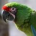 Guacamaya Verde - Photo (c) Pablo Leautaud, algunos derechos reservados (CC BY-NC)