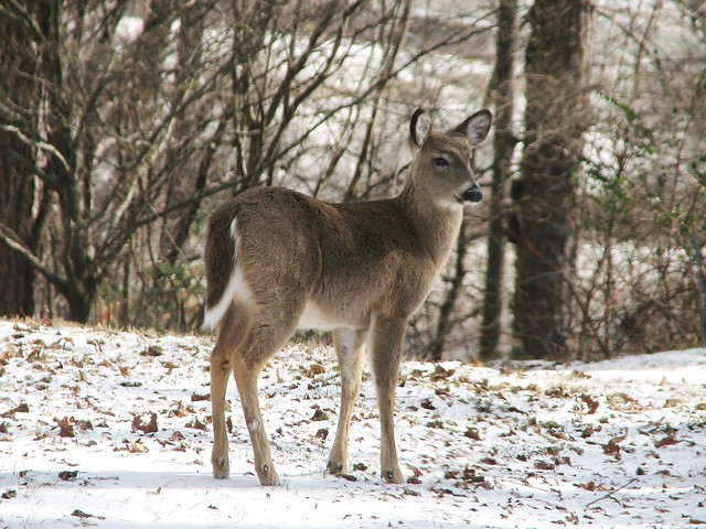 White tailed deer yearling flickr photo sharing