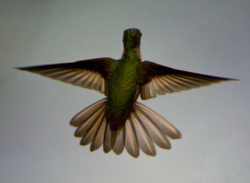 ecuador hummingbird bellavista mindo bej