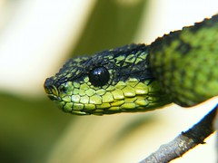 animal, western green mamba, snake, reptile, macro photography, green, fauna, close-up, scaled reptile, wildlife,