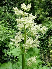 apiales(0.0), anthriscus(0.0), produce(0.0), digitalis(0.0), shrub(1.0), flower(1.0), garden(1.0), cow parsley(1.0), plant(1.0), herb(1.0), wildflower(1.0), flora(1.0), meadowsweet(1.0),