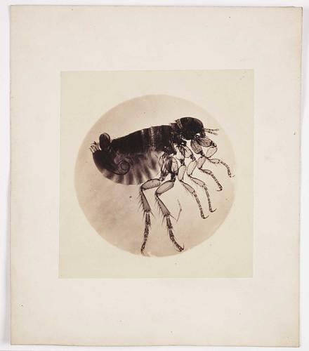 Flea microphotograph