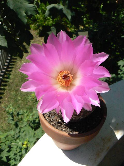 Echinocereus rigidissimus fiorito