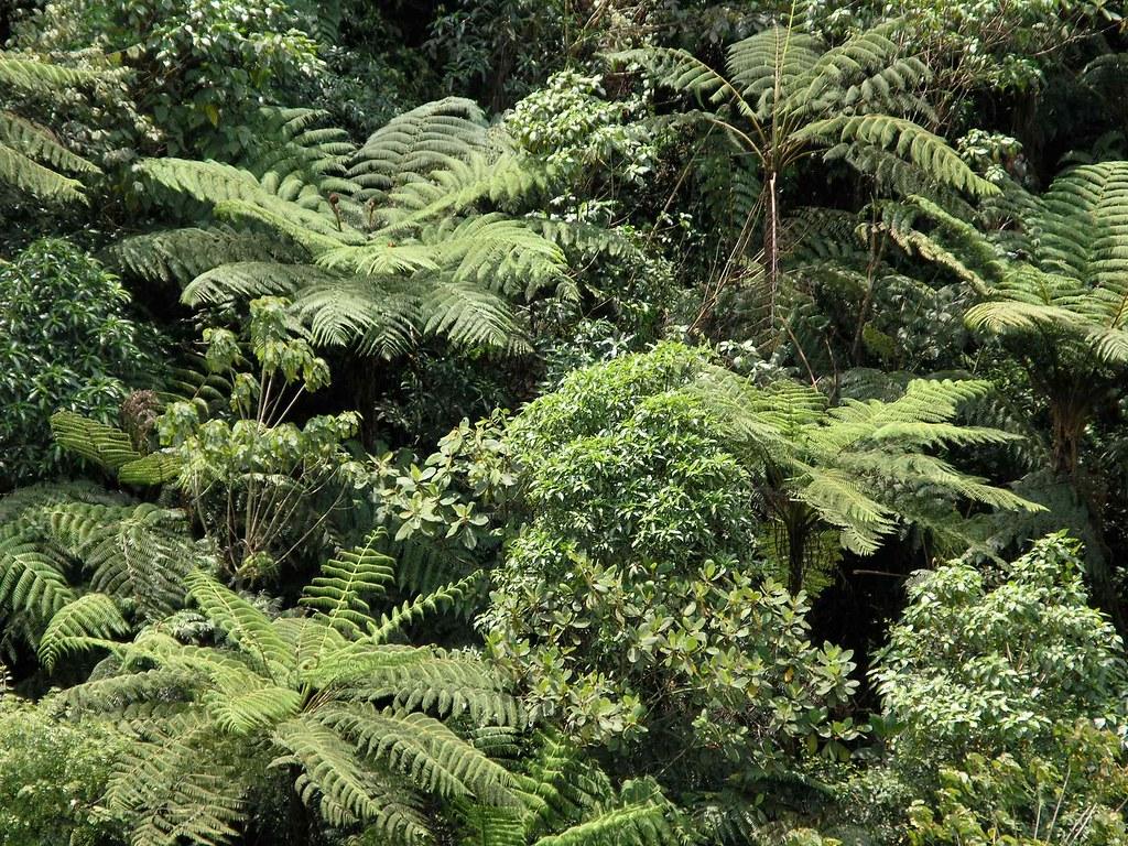 Image result for selva de montaña helechos Guatemala