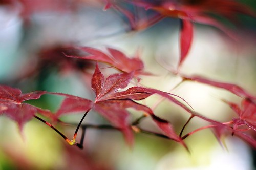 maple bokeh