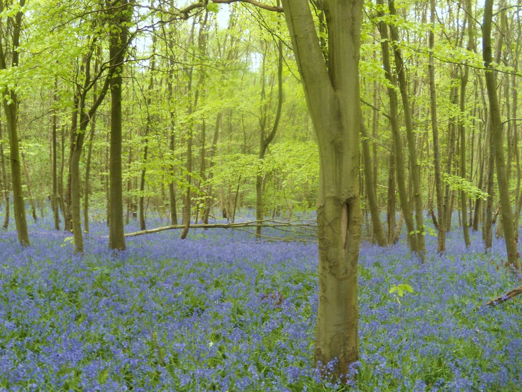 Bluebells Hurst Green to Westerham