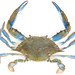 Common Blue Crab - Photo (c) Thomas, some rights reserved (CC BY-NC)