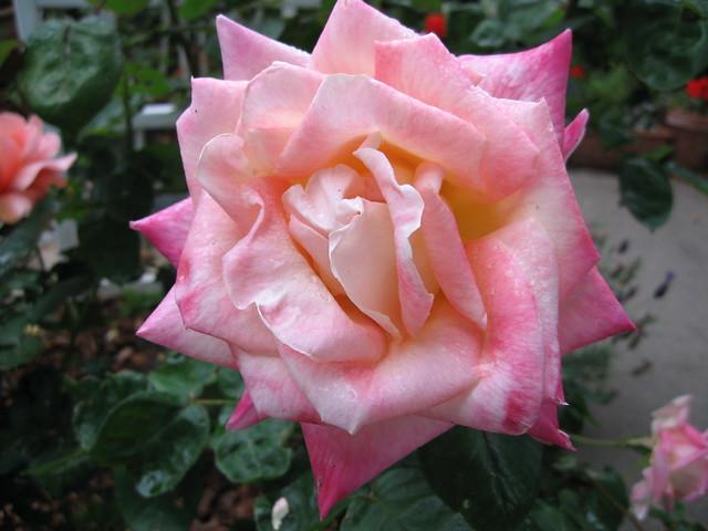 Diana Princess Of Wales Rose Flickr Photo Sharing
