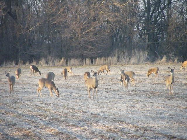 Biggest Backyard Ever : March 2009 Biggest deer herd Ive ever seen in our backyardover 35