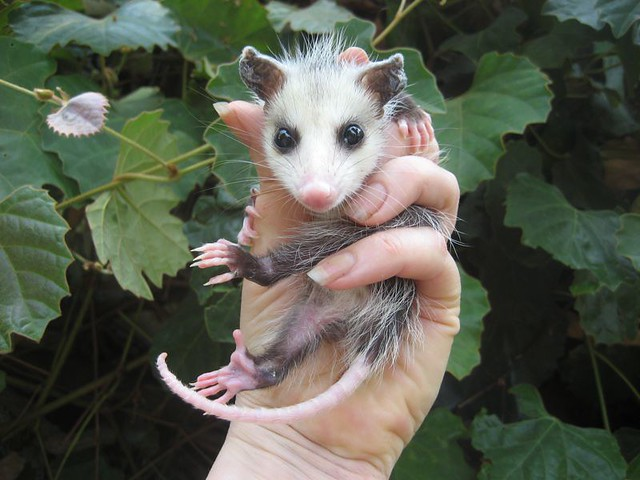 baby opossum, virginia, Mary Cummins