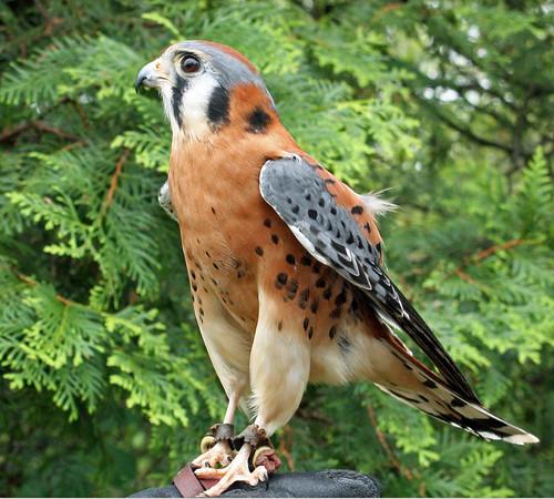 Pa Birds Of Prey Flashcards Quizlet