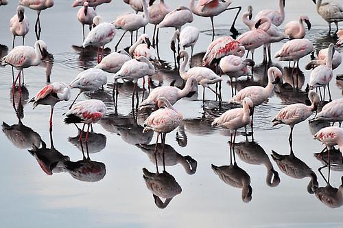 africa nature birds tanzania nationalpark wildlife biosphere flamingos environment reflexions arusha biodiversity momela momelalakes zedith