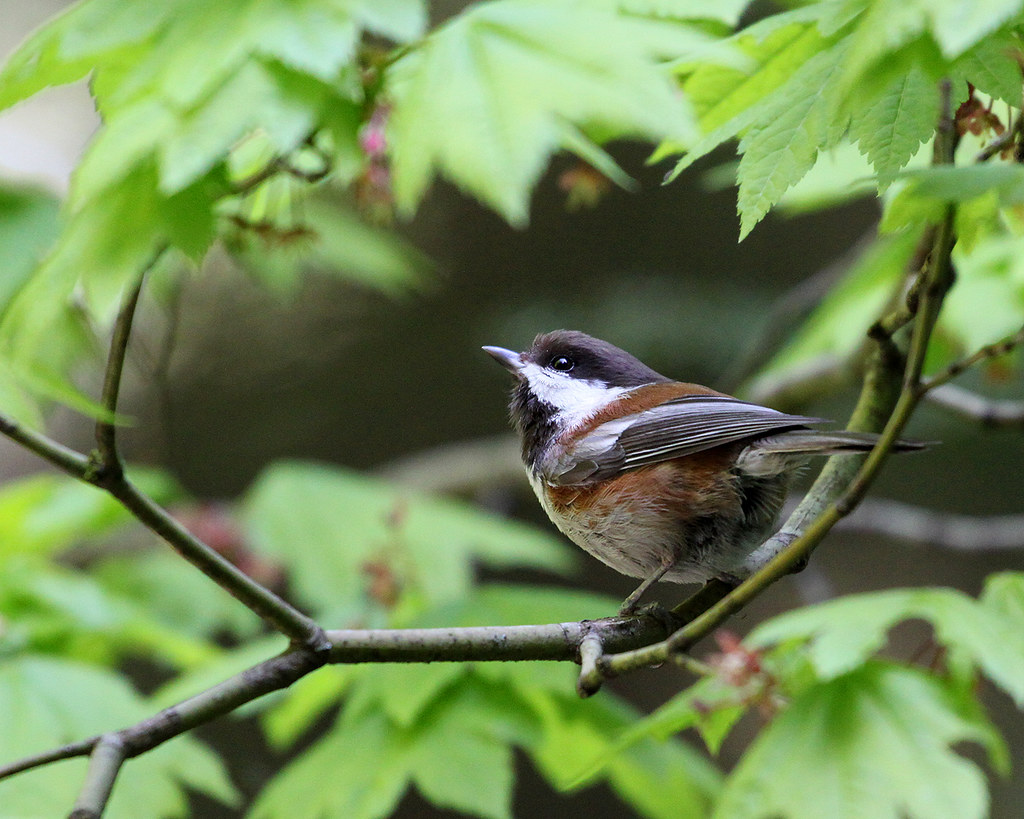 """Exploring Space"" Chestnut-Backed Chickadee Wrapped in Vine Maple at Mundy Park in Coquitlam BC 09May2010"