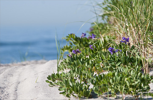 purple beach peas by Alida's Photos