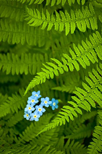 Forget-Me-Not Ferns