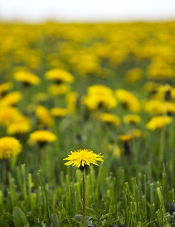 Dandelion in a Field of Dandelions