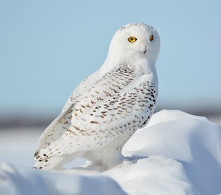 Snowy Owl on the Snow Drift