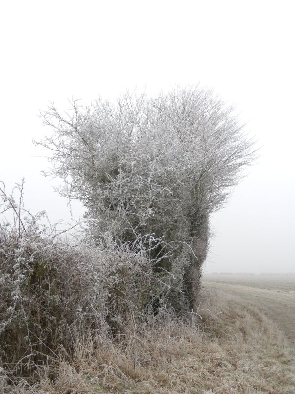 Frosty tree The first of many. Wanborough to Godalming