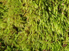 branch, leaf, green, clubmoss, vegetation, moss,