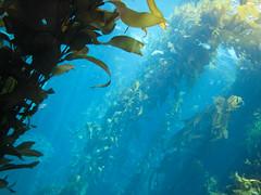 fish(0.0), marine biology(0.0), shoal(0.0), coral reef(1.0), algae(1.0), seaweed(1.0), macrocystis pyrifera(1.0), macrocystis(1.0), underwater(1.0), reef(1.0), kelp(1.0),
