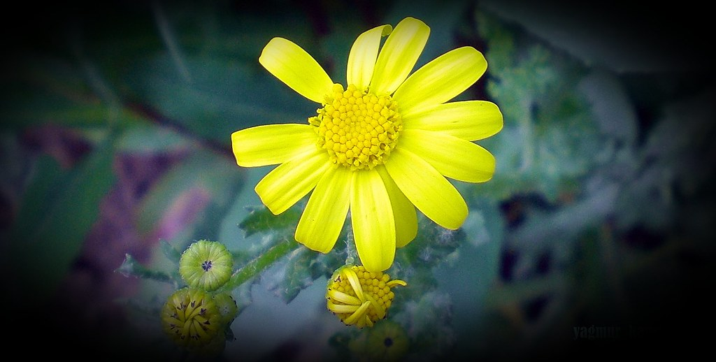...Yellow Beauty...