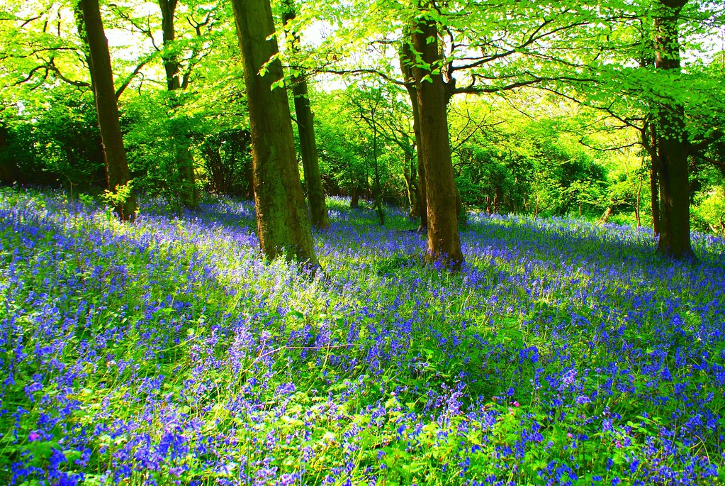 Photo:Bluebell Forest By:LukeAndrew94