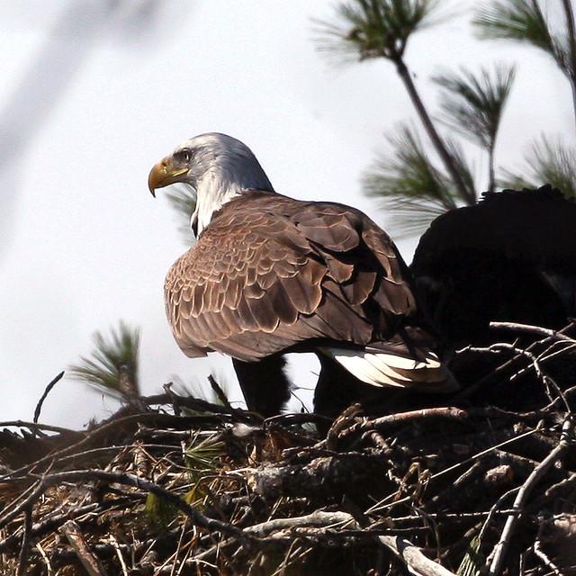 Michigan - Ottawa County Eagle