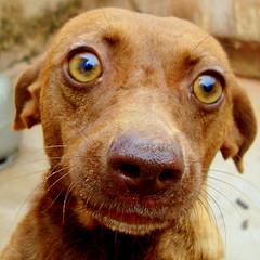 puppy(0.0), chesapeake bay retriever(0.0), dog breed(1.0), nose(1.0), animal(1.0), dog(1.0), redbone coonhound(1.0), pet(1.0), snout(1.0), mammal(1.0), close-up(1.0), vizsla(1.0),