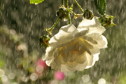 flowers roses white water fleur rain reflections droplets bouquet johnmorgan