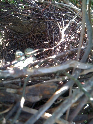 finland nest magpie picapica harakka elster soini