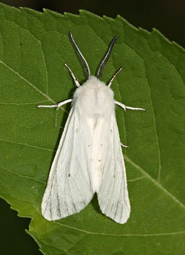 lepidoptera spilosomavirginica diaphoramendica virginiantigermoth muslinmoth poodlemoth
