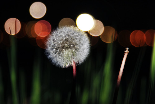 canada flower night canon eos is bokeh glory nb dandelion seeds newbrunswick sj usm dslr saintjohn f4l 24105mm 50d sjphoto nbphoto cans2s bmca