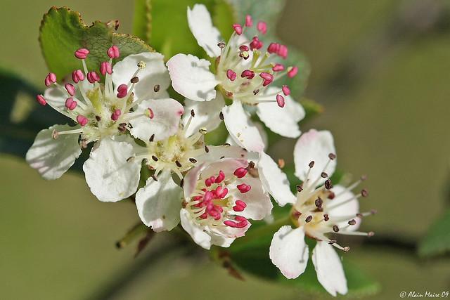 Fleurs de gueule noire / Black Chokeberry