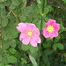 California Wild Rose - Photo (c) Terrie Miller, some rights reserved (CC BY-NC-SA)