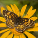 Silvery Checkerspot - Photo (c) Bill Bouton, some rights reserved (CC BY-NC-ND)