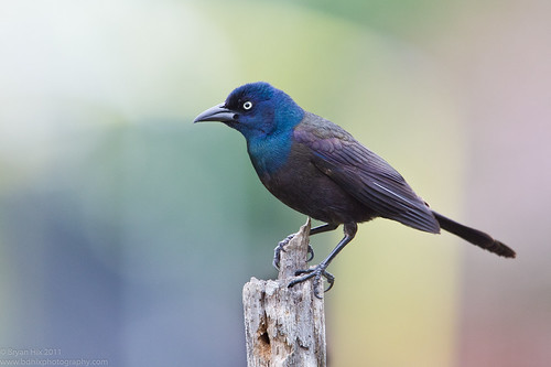 Common Grackle | by Bryan Hix | www.byrdnerd.com