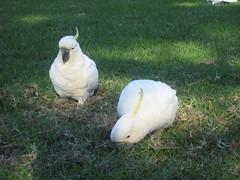 water bird(0.0), cockatoo(1.0), animal(1.0), parrot(1.0), grass(1.0), sulphur crested cockatoo(1.0), fauna(1.0), beak(1.0), bird(1.0),