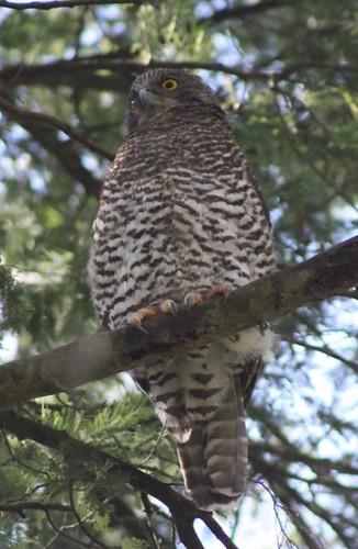 Powerful Owl 17-01-09