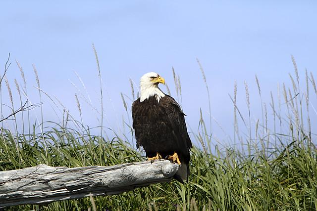 Bald eagle resting flickr photo sharing