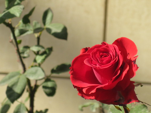 it has to be a red rose for valentine's day