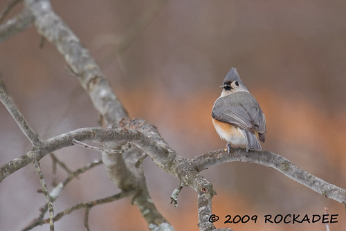 Tufted-titmouse With Seed