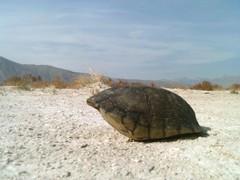 loggerhead(0.0), leatherback turtle(0.0), emydidae(0.0), animal(1.0), turtle(1.0), reptile(1.0), marine biology(1.0), fauna(1.0),