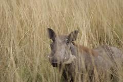 animal, prairie, mammal, fauna, warthog, wildlife,