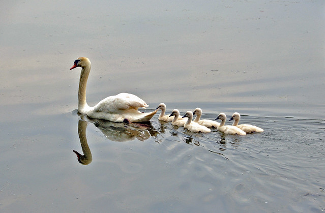 swans a swimming | Flickr - Photo Sharing!