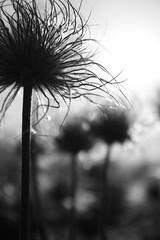 Anémones pulsatille photo fleur noir et blanc silhouette