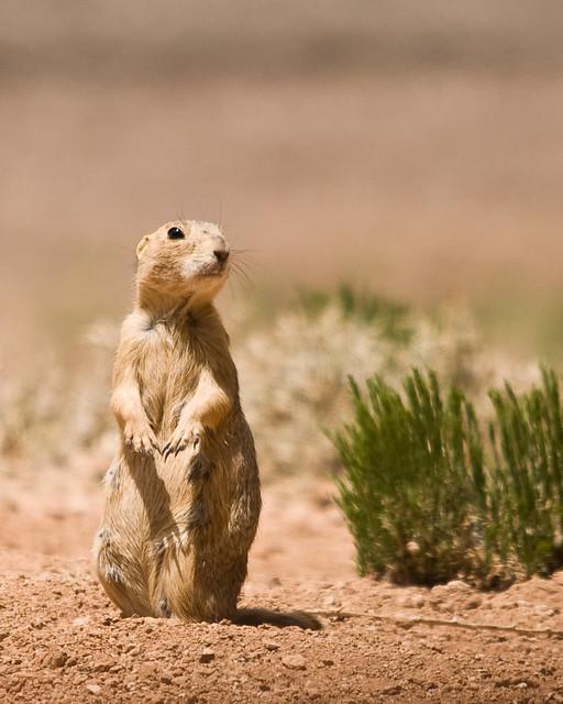 Keeping Watch | Gunnison's prairie dog (Cynomys gunnisoni ...