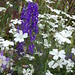 Small photo of Delphinium & Agrostemma githago 'Ocean Pearls'