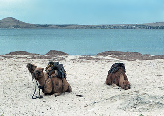 Camels near Murray Bridge, South Australia, 1986