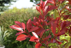 Photinia ´Red Robin´ DSC09827